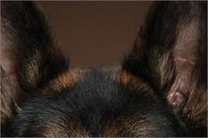 german shepherd tiger dog