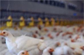 corona viral non veg poultry farm