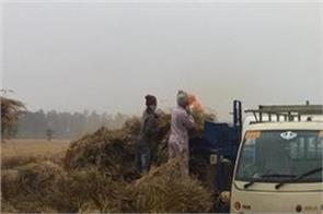 delay in wheat harvesting due to rain