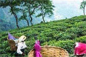production loss may push up tea prices
