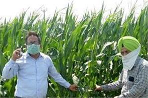 maize farmers need to be aware of   fall army worm   attack  dr surinder singh
