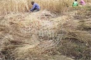 wheat harvest kapurthala