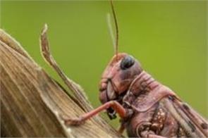 tarn taran  locust squad
