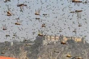 locust attack in rajasthan