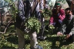 hailstone destroy apple plant flowers in upper shimla