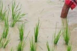 gurdaspur  labor  paddy  work completed