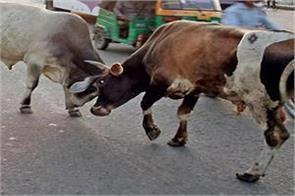 cattles in zirakpur