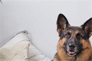 german shepherd dog coronavirus died