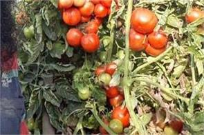 vegetables fruits farming sultanpurlodhi