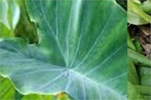 colocasia leaves   nutrition  health benefits   how to eat