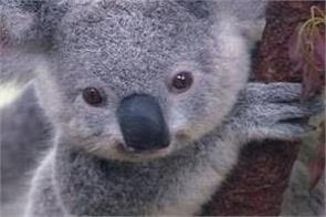 australian leader  koala
