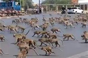 thailand monkeys terror
