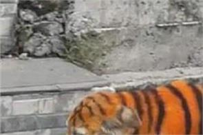 malaysia dogs tigers paint pictures viral