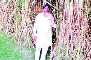cane crushing sugar mills pay farmers