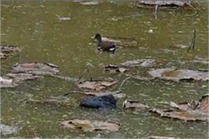 bird flu alert in chandigarh
