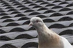 australia racing pigeon