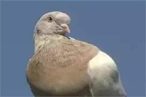 american pigeon   joe    australia