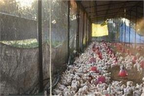 bird flu rajasthan died 443 birds single day