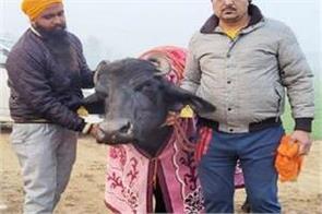 sarswati buffalo