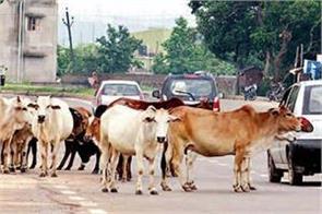 cattle on roads