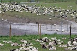 bird flu in punjab
