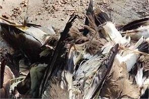 corona virus bird flu symptoms dangerous disease