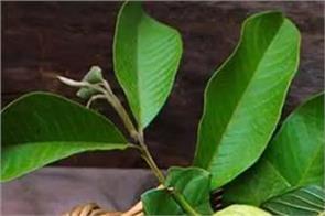 guava leaves weight loss sugar hair