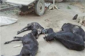 village chuck saido 26 goats death