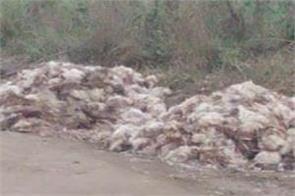 bird flu entry in patiala
