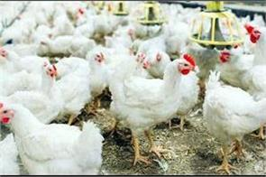 chickens who survived the death of bird flu  died due to heart attack