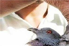 190 pigeons killed in ahmedabad city  feared bird flu