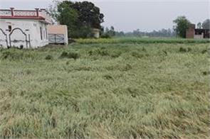 gurdaspur  weather department rain  wind  crops  damage