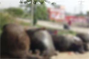 20 animals die in collision of 2 trucks