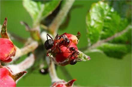 ants on the plants might protect crops from diseases