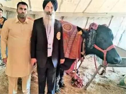 saraswati buffalo murrah breed of haryana set record