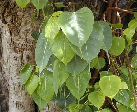 pipal leaves health benifits