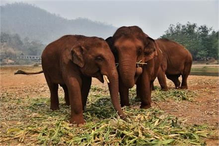 as coronavirus crisis worsens thailand s tourist elephants face starvation