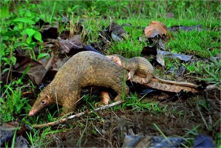 china accords highest level of protection to pangolins after covid 19
