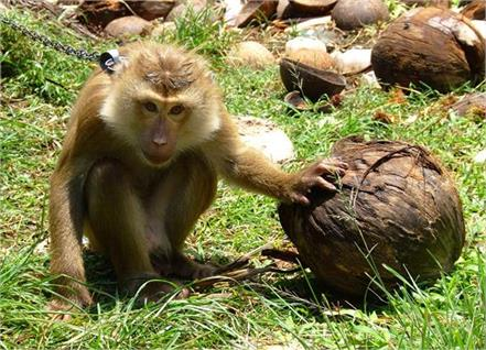 monkeys pluck coconuts in thailand  britain bans products