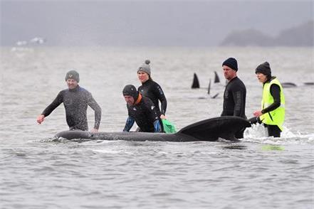australia  500 pilot whales