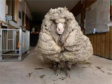australia sheep