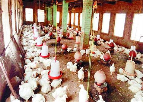 corona virus 60 poultry farms business moga