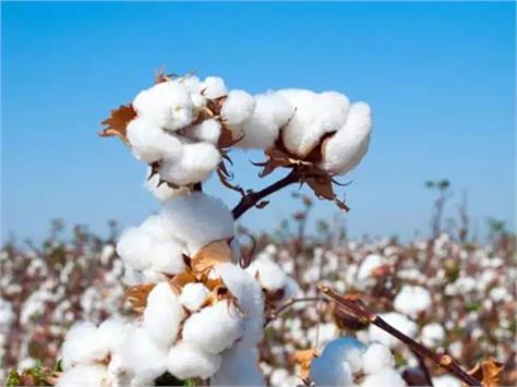 haryana procurement of cotton