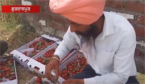 strawberry  agriculture  income  gurdaspur  farmer  shere punjab singh